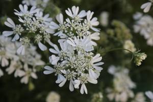 2020年6月中旬 道端の白い花