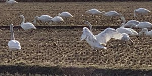 2020年3月8日 白鳥の休憩